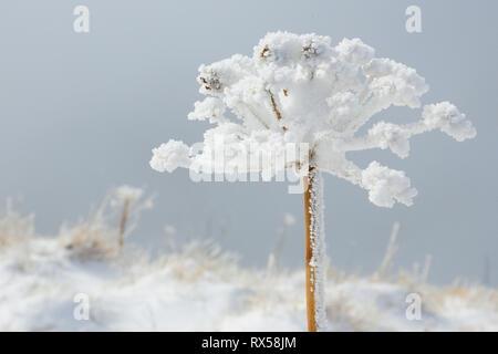 Botanik, Eis Detail auf Kerbel, Schweiz, Additional-Rights - Clearance-Info - Not-Available Stockbild
