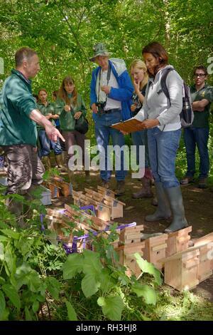 Wiedereinführung Team mit vielen Nistkästen mit Hazel haselmäuse (Muscardinus avellanarius) für die Freisetzung in Coppiced woodland, Nottinghamshire, Großbritannien Stockbild