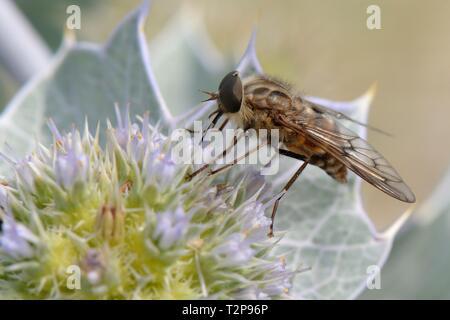Eine streng Nektar - Fütterung Pferd fliegen (Pangonius striatus), endemisch auf Sardinien, Fütterung auf Sea Holly Blumen (Eryngium maritimum) auf einem Strand, Sardinien, Stockbild