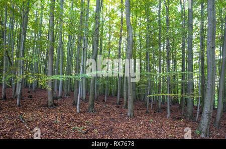 Botanik, Buche (Fagus sylvatica), Buchenwälder im Nationalpark Harz der Exposition des Au, Additional-Rights - Clearance-Info - Not-Available Stockbild