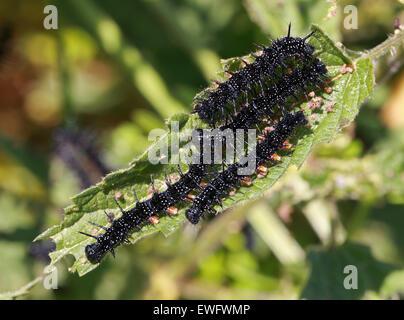 Peacock Butterfly Raupen, Inachis Io, Nymphalidae, ernähren sich von Brennnesseln, Urtica Dioica. Stockbild