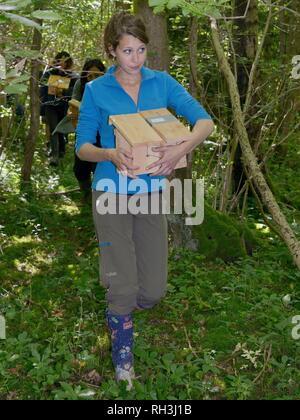 Freiwillige Durchführung Hazel haselmäuse (Muscardinus avellanarius) in nistkästen während einer Wiedereinführung Projekt im alten Wald, Nottinghamshire, Großbritannien. Stockbild