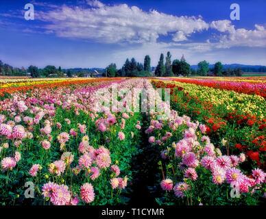 V 00271 M. tiff Dahlie Felder. Swan Insel Dahlie Farm. Oregon Stockbild