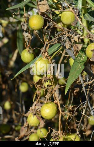 Kanarische wild Melon / Kanarische Zaunrübe (Bryonia verzweigt) Früchte, Gran Canaria, Kanarische Inseln, Stockbild