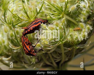 Gestreifte schild Bugs (Graphosoma lineatum) Paaren auf Wilde Möhre (Daucus carota) seedhead, Brandenburg, Deutschland. Stockbild