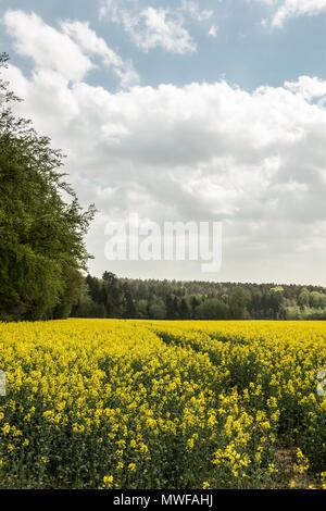 Große Felder von gelben Raps und den blauen Himmel mit Wolken Stockbild