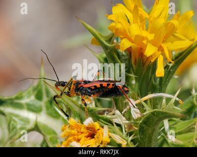 Red assassin Bug (Rhynocoris iracundus) wartet auf Beute auf Stacheligen Gänsedistel (Sonchus asper), an der Küste der Provinz Kalkstein Buschland, Zadar, Kroatien. Stockbild