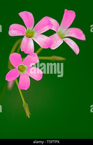 Rosa Blume, Indien, Asien Stockbild