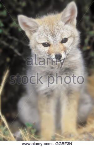 Zoologie/Tiere, Säugetier/Säugetiere (Mammalia), junge PATAGONISCHEN Gray fox (Dusicyon griseus griseus), Stockbild