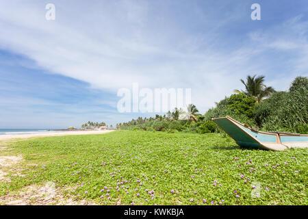 Asien - Sri Lanka - induruwa - eine riesige Blumenwiese am Strand Stockbild