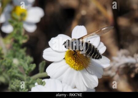 Bienen fliegen (embothrium sp.) Beschickung von Oxeye daisy flower (Leucanthemum vulgare), Lesbos/Lesbos, Griechenland, Mai. Stockbild