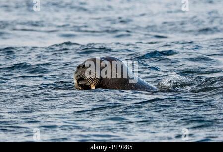 Walross kommt das zodiak Boot schwimmen von Land und im arktischen Meer um Erscheinen zu untersuchen Stockbild