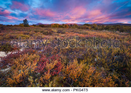 Schönen Herbstmorgen Fokstumyra Nature Reserve, Dovre, Norwegen. Stockbild