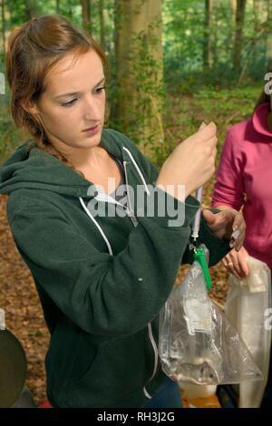 Junge Essbar/Fat Siebenschläfer (Glis Glis) in Wäldern, in denen dieses Europäische Arten etabliert hat, Buckinhhamshire, UK wiegen Stockbild