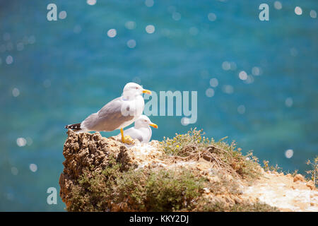 Portugal - Algarve - Möwen im Praia dos Tres Irmaos - Europa Stockbild