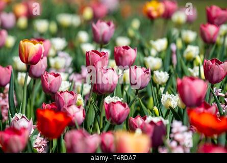 Berlin, Deutschland. 18 Apr, 2019. Zahlreiche Tulpen blühen im Britzer Garten bei schönem Wetter. Credit: Monika Skolimowska/dpa-Zentralbild/dpa/Alamy leben Nachrichten Stockbild