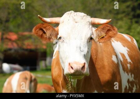 Kuh auf der Alm, St. Margarethen, Brannenburg, Oberbayern, Bayern, Deutschland, Europa ich Kuh in Alm, St. Margarethen, Brannenburg, Oberbayern Stockbild