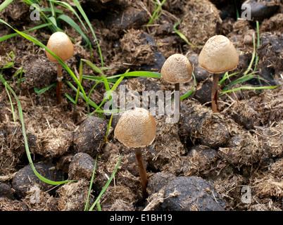 Eierkopf Mottlegill oder glänzend Mottlegill, Panaeolus Semiovatus var. Semiovatus, Bolbitiaceae. Wächst auf Pferdemist. Stockbild