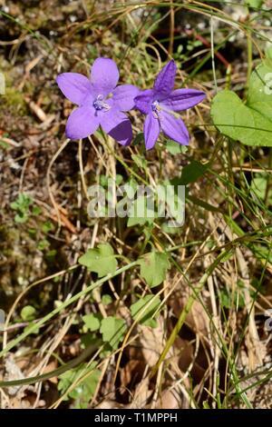 Oviedo Glockenblume (Campanula arvatica), endemisch in Nordspanien, in der Blüte an einem Berghang, in der Nähe von Sotres, Picos de Europa, Asturien, Spanien, August Stockbild
