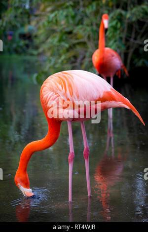 Amerikanische Flamingo (Phoenicopterus Ruper) im Teich an Everglades Wonder Garten, Bonita Springs, Florida, USA Stockbild