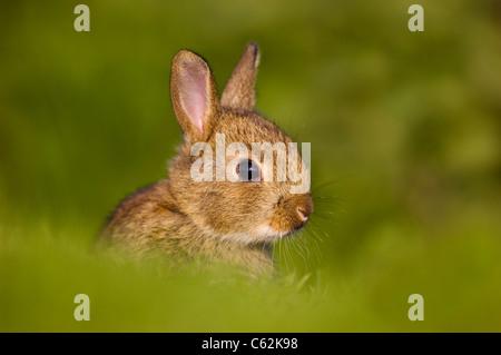 Kaninchen Oryctolagus Cuniculus In den letzten Strahlen der Abendlicht ein jungen Kaninchen sitzt Warnung in der Stockbild