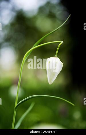 Nahaufnahme von einem zarten weißen Blüten von einer Schlange Kopf Fritillary auf einer Wiese. Stockbild