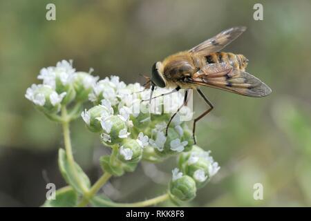 Eine streng Nektar - Fütterung Arten von Pferd fliegen (Pangonius pyritosus) mit einem sehr langen Rüssel Nahrungssuche auf Kretischer Oregano (Origanum onites) Blumen, Stockbild
