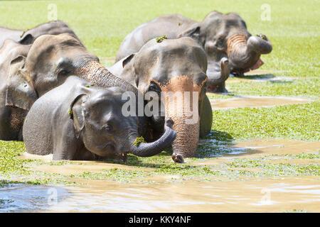 Baby Elefant mit seinen Eltern - Sri Lanka, Asien Stockbild