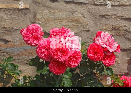 Rosa Rosen vor einer Mauer aus Stein, Deutschland, Europa Stockbild
