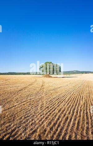 Martina Franca, Apulien, Italien - einem alten Baum auf einem Feld nach der Ernte Stockbild