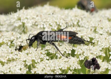 Spider Wasp (Entomobora vomeriventris) Einziehen auf wilde Möhre/Queen Anne's Lace (Daucus carota) Blumen, Lesbos/Lesbos, Griechenland, Mai. Stockbild