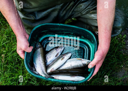 Hohen Winkel in der Nähe der Person, die grünen Eimer mit frisch gefangenen Forellen an eine Fischzucht Aufzucht von Schwarzwaldforellen. Stockbild