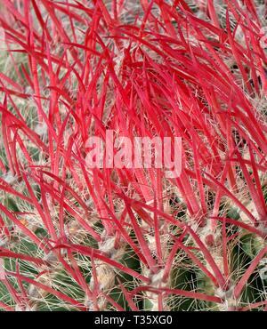 Rote Stacheln eines mexikanischen Fire barrel Kaktus (Ferocactus pilosus/piliferus), einer endemischen Arten nach Mexiko, Lanzarote, Kanarische Inseln. Stockbild