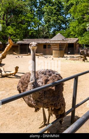 Strauß (Struthio Camelus) in einem Zoo, Zoo von Barcelona, Barcelona, Katalonien, Spanien Stockbild
