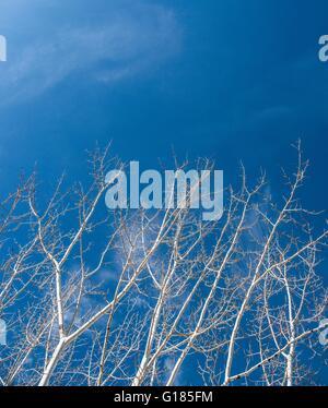 Niedrigen Winkel Blick auf kahlen Bäumen gegen blauen Himmel Stockbild
