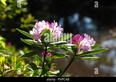 Blume, rosa Rhododendron (Rhododendron), Bremen, Deutschland, Europa Stockbild