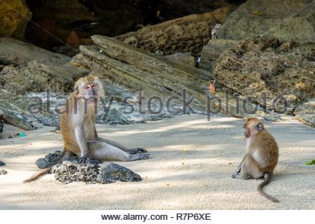 Thailand Songkhla Provinz, Tarutao National Marine Park, Ko Tarutao Insel, Ao Molae Bay, Krabben - essen Makaken (Macaca fascicularis) Stockbild