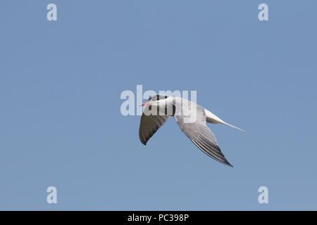 Flussseeschwalbe fliegen über Deepdale Marsh Norfolk Stockbild