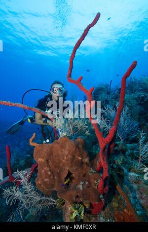 Scuba Diver hält ein Outcropping verschiedener Schwämme zu erkunden. Stockbild