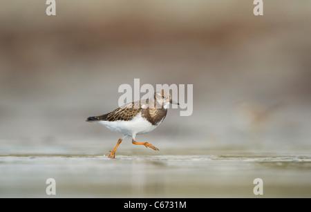 Steinwälzer Arenaria Interpres Profil eines Erwachsenen an einem einsamen Strand laufen. September. Shetland Stockbild