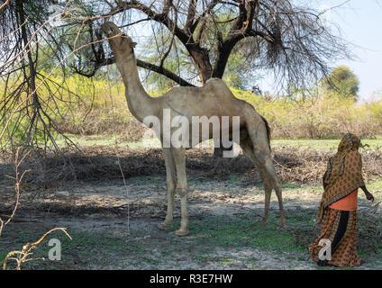 Kamel essen einen Baum, der Ferne region, Semera, Äthiopien Stockbild