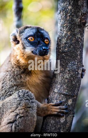 Gemeinsame Braun Lemur (Eulemur fulvus), Andasibe, Madagaskar, Afrika Stockbild