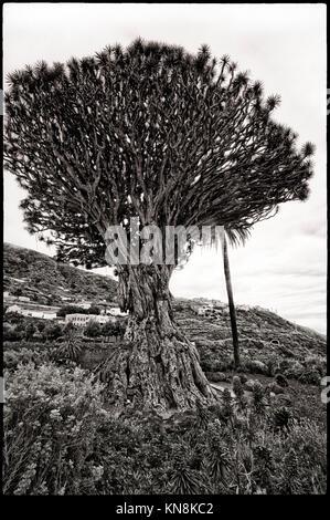 Drago Milenario, der bekannteste Drachenbaum (Dracaena Draco) auf den Kanarischen Inseln, 400 Jahre alt, im Dorf Stockbild
