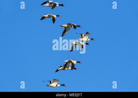 Herde von gemeinsamen Brandgänse (Tadorna tadorna) im Flug gegen den blauen Himmel am Neusiedler See im Burgenland, Österreich Stockbild