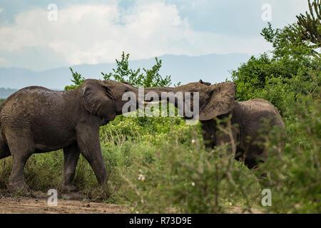 Elefanten (Loxodonta africana) im Konflikt, Murchison Falls Nationalpark, Uganda Stockbild