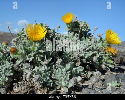 Kanarische berufskraut (Pulicaria canariensis) eine seltene Lanzarote und Fuerteventura endemisch Blüte, Punta de Papagayo, Los Ajaches National Park, Lanzarote Stockbild