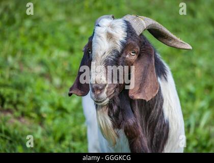 Zoologie, Säugetiere (Mammalia), Ziege auf einem Bauernhof in St. Jakob im Ahrntal (Ahrntal), Südtirol, Stockbild