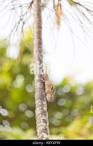Eichhörnchen - Sri Lanka, Asien Stockbild