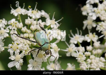 Blume Käfer (Hoplia argentea) Fütterung auf Gemeinsame scharfkraut (Heracleum sphondylium) Blumen, Julische Alpen, Slowenien, Juli. Stockbild
