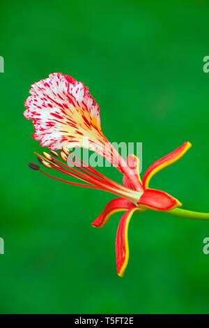 Gulmohar Blume, Visakhapatnam, Andhra Pradesh, Indien, Asien Stockbild